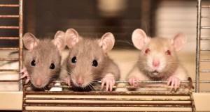 ¿Que significa soñar con Muchas Ratas?