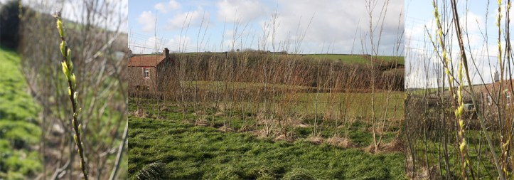 Here at The Sign Maker we grow Willow for the wildlife and for our biomass burner.