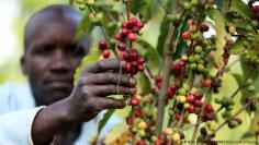 البيئة – هل ستصبح القهوة قريبا مشروب الأغنياء فقط؟