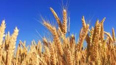 الجهاز الهضمي  – ما هي أعراض حساسية القمح وما علاقتها بالداء البطني؟