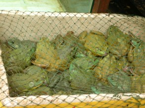 I watched as a woman examined a sack of four big frogs, put it back down, and then picked up the next one, comparing their relative size. Their springy feet hung awkwardly through the open spaces in the woven sacks.