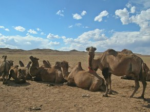 """""""The camels were laying on their bellies with all four knees buried in the sand."""" - Sand Dunes"""