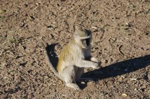 Chobe National Park, Monkey Botswana