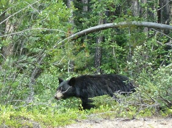 Black bear in Banff National Park