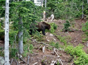 Grizzly Bear - Grouse Mountain, BC