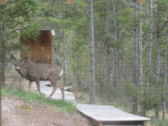 Deer at Loon Lake BC, Canada