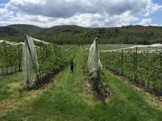 Near Carcassonne, France, vineyards