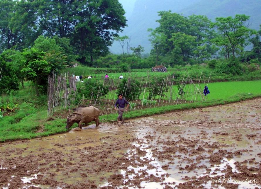 Water buffaloes ,China