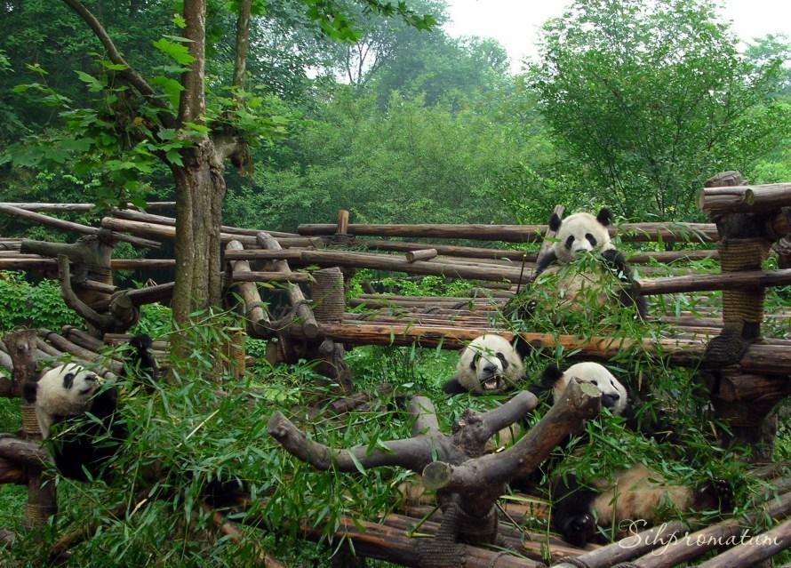 Panda bears, China