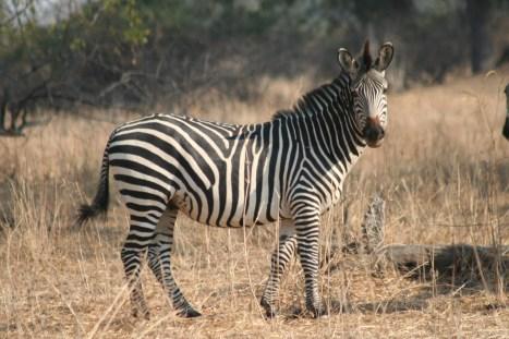 Zambia, zebra