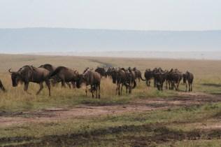 Wondrous Wildebeest migration
