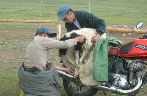 A limp, trussed-up sheep hung from the back of his motorbike. The sheep's pinkish grey tongue dangled from its mouth. I could see that it was already scared half to death, and my heart contracted again.