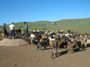 Hundreds of sheep and goats were crowded around this trough before the water was even poured, the goats ramming each other with their horns as they fought for position.