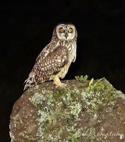 Galápagos Island Owl
