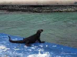Galápagos Island Water monitor