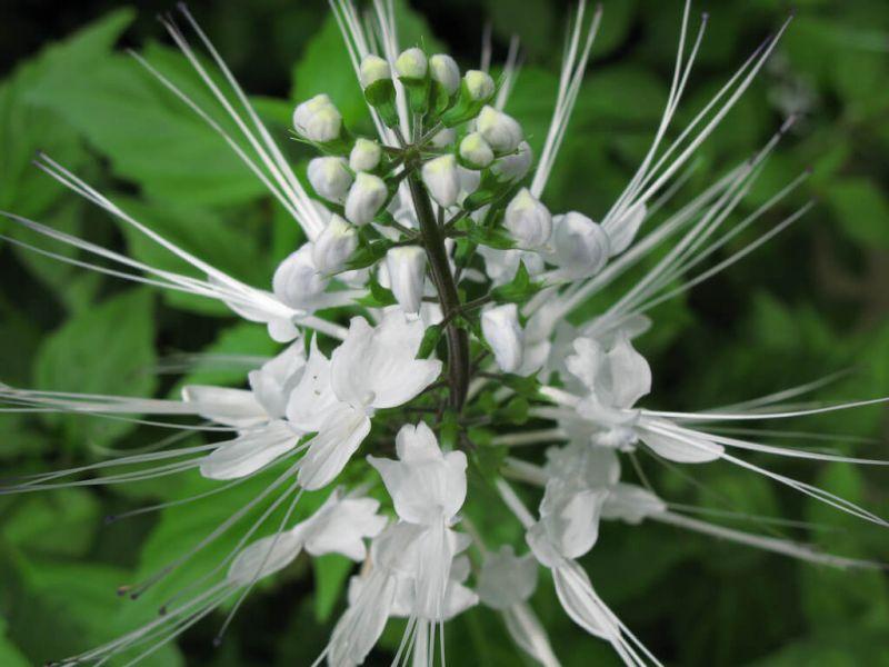 khasiat tanaman kumis kucing