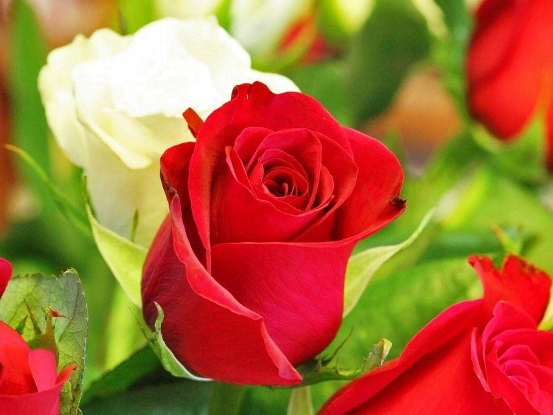 Ciri-ciri bunga mawar
