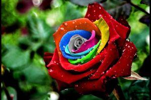 Bunga mawar