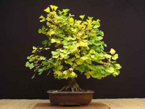 Stupendo bonsai di Ginkgo biloba