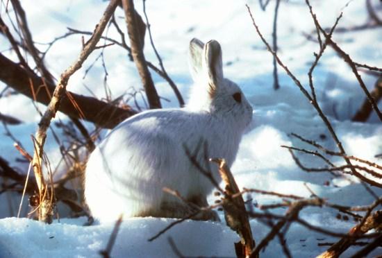 Arctic_Hare