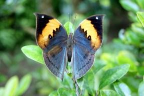 Kallima inachus con le ali aperte