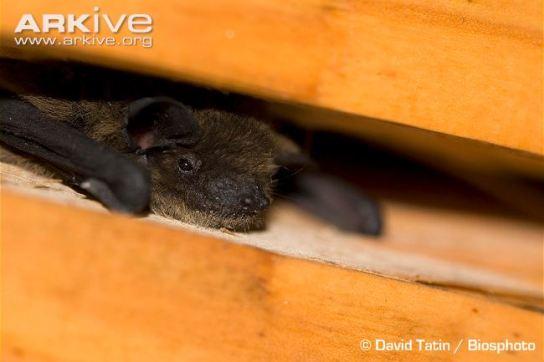 Kuhls-pipistrelle-roosting-behaviour
