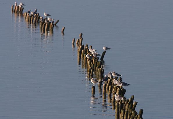 Foto van meeuwen in de haven van Den Oever