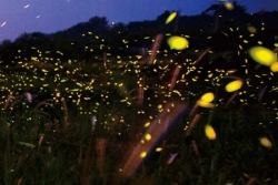 Fireflies' beauty appears best in their natural habitat (Hubei countryside, photo by Xinhua Fu)