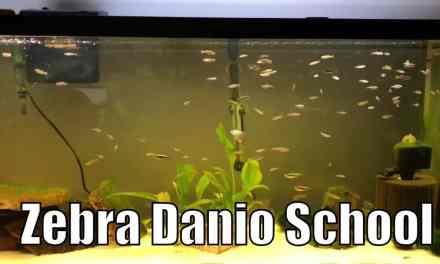 55 Gallon Zebra Danio & Black Neon Tetra Aquarium