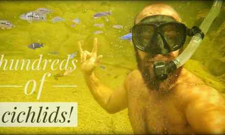 Swimming with the Cichlids!