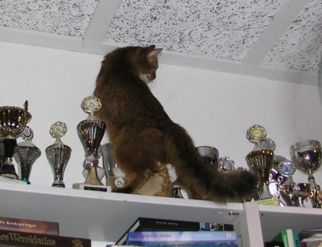 Nieckje probeert te manouvreren tussen de bekers. Als Groot Internationaal Kampioen en net als haar vader ooit de vijfde beste kat van alle Felikatshow in een bepaald jaar heeft zij er ook de nodige bekers aan de verzameling toegevoegd.