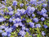 of the Ceanothus