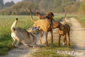 Aracho, Delphi und die Rhodesian Ridgebacks – Wiedersehen macht Freude