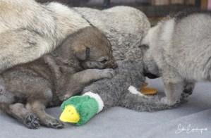 Drei Wochen alte Wolfhundwelpen