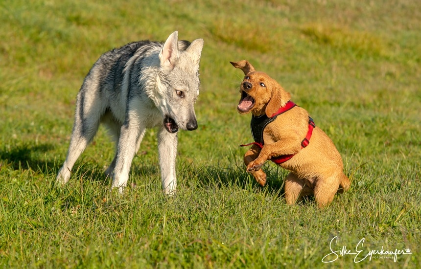 Spaß – Aracho und Labrador Welpe Chili