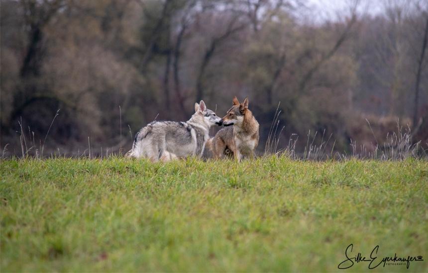 Wolfhund Kumpels – Fenris und Aracho