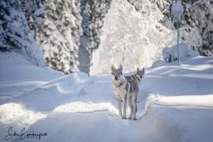 Wolfhunde im Schnee, einfach schee :)