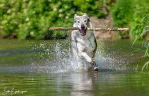 Wolfhunde – Der Hund als Lebensaufgabe