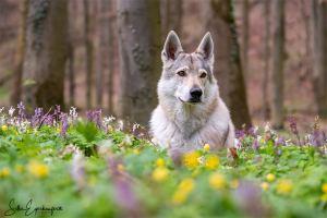 """Portrait einer tschechoslowakischen Wolfhündin                                                 """"Die wildesten Fohlen werden die besten Pferde"""""""