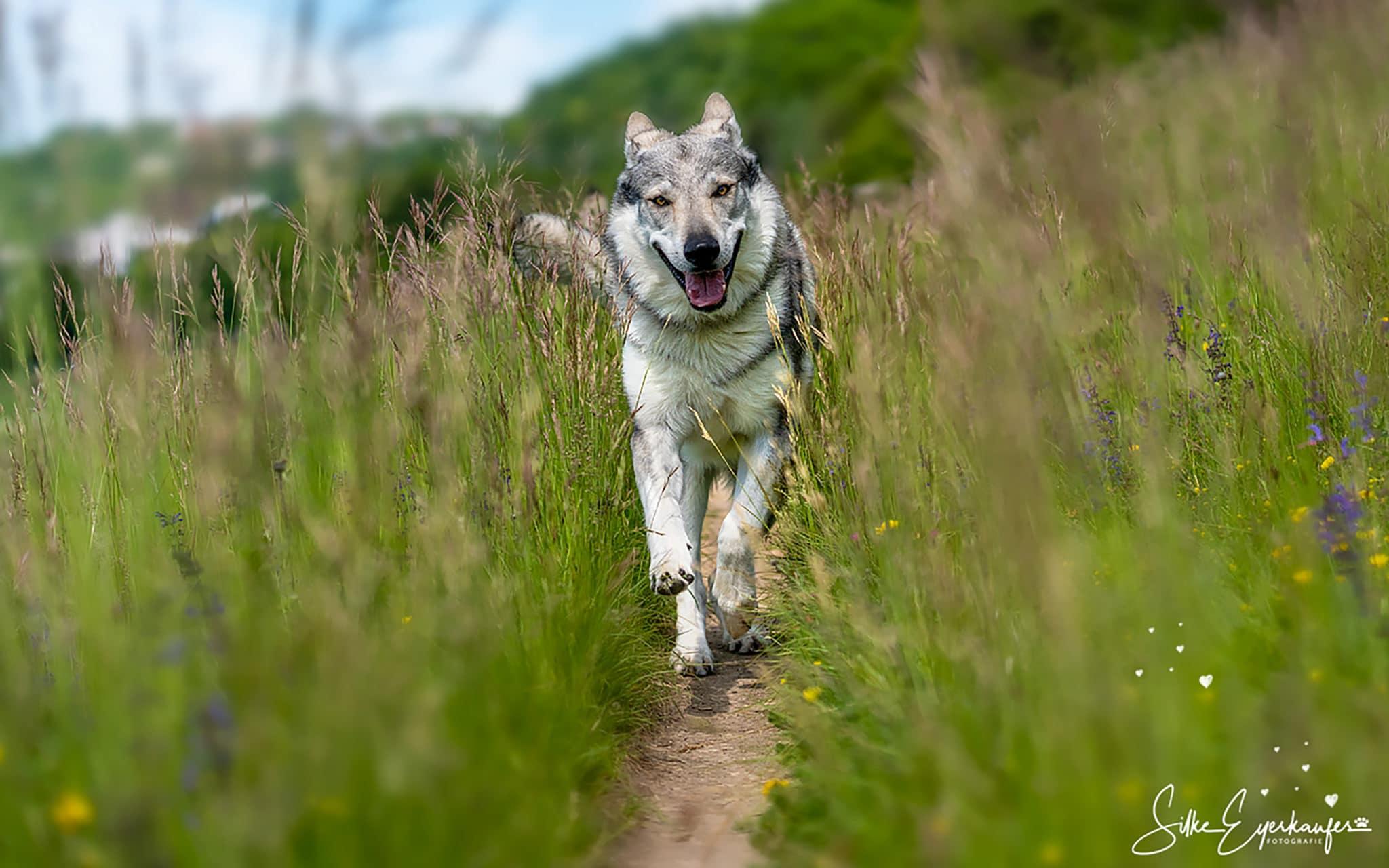 Wolfhunde - Portrait - Wiese