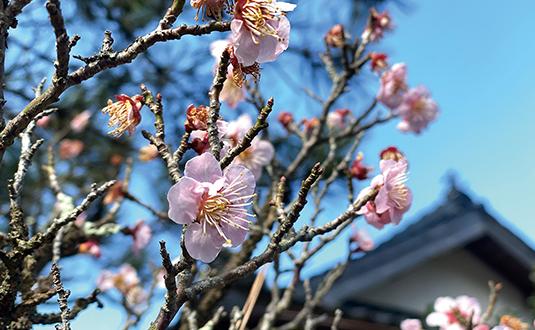日南町の桜