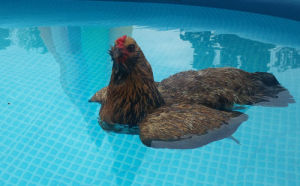 8 Interesting Facts-Can Chickens Swim?
