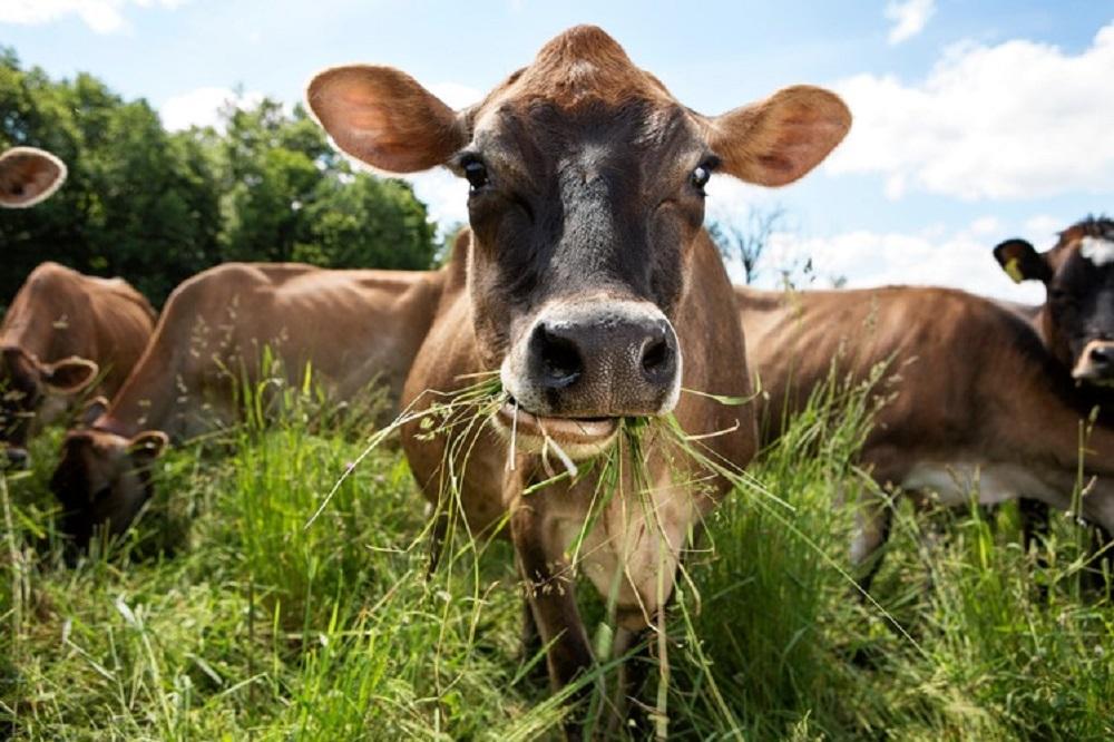 Grass fed animali a pascolo nutriti d'erba