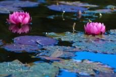 Waterlillies -Mustio-52