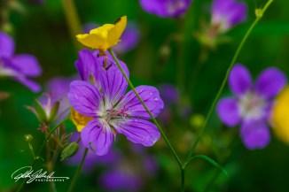 summer flowers (7 of 96)