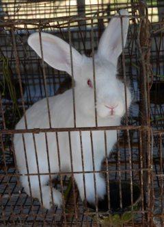 """Cría de conejos en la granja agropecuaria """"Cuajaní"""", el 13 de enero de 2011, Pinar del Rio, Cuba. Foto: Calixto N. Llanes/Juventud Rebelde (CUBA)"""