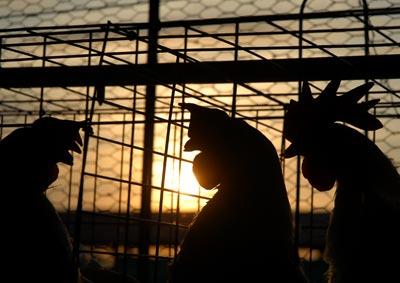 """Gallinas ponedoras de la granja avícola """"Dagame"""", el 18 de enero de 2011, Artemisa, Cuba. Foto: Calixto N. Llanes/Juventud Rebelde (CUBA"""