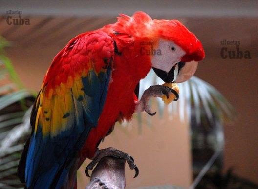 En el plumaje del Guacamayo predominaba el color rojo, el 17 de Febrero de 2010, La Habana, Cuba. Foto: Calixto N. Llanes/Juventud Rebelde (CUBA)