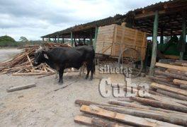 """Los bueyes transportan la madera en el Aserrío """"Combate Las Tenerías"""", el 14 de Enero de 2011, Pinar del Río, Cuba. Foto: Calixto N. Llanes/Juventud Rebelde (CUBA)"""