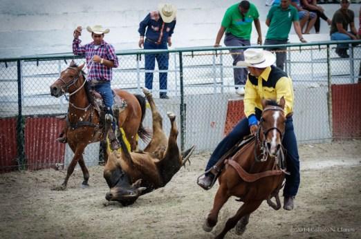 Vaqueros compiten en coleo en la final del Campeonato Nacional de Rodeo entre Villa Clara y Sancti Spiritus, durante la Feria Internacional Agroindustrial Alimentaria (FIAGROP) de Rancho Boyeros el martes 18 de marzo de 2014 en La Habana, Cuba. FOTO de Calixto N. Llanes/Juventud Rebelde (CUBA)